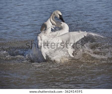Trumpeter Swan Fighting - stock photo