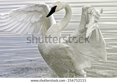 Trumpeter Swan flapping and stretching her beautiful wings in the waters at the Marsh - stock photo