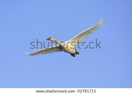 Trumpeter Swan flying with its wings spread - stock photo