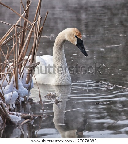 Trumpeter swan with reflection.  Winter in Wisconsin - stock photo