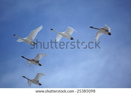 Trumpeter swans flying V formation sky birds beak wings clouds - stock photo