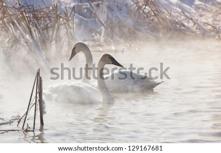 Trumpeter swans in the morning light, with mist rising off the water.  Winter in Wisconsin - stock photo