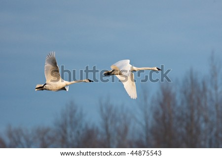 Trumpeter Swans  pair flying in unison with blue sky in background - stock photo