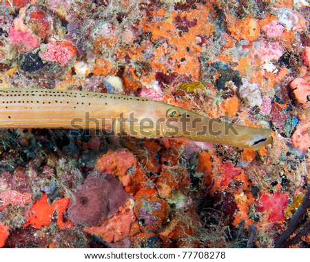 Trumpetfish on a shipwreck in south east Florida. - stock photo