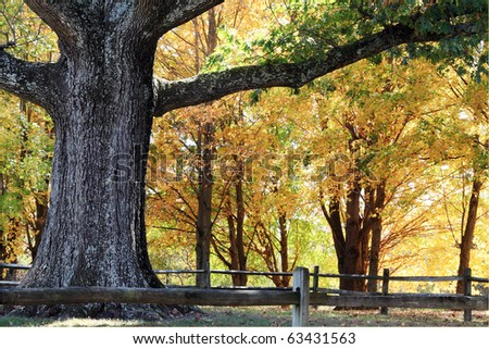 Trunk and branches of a very large oak tree surrounded by beautiful autumn colors. - stock photo