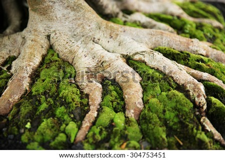 Trunk and root of bonsai tree. - stock photo