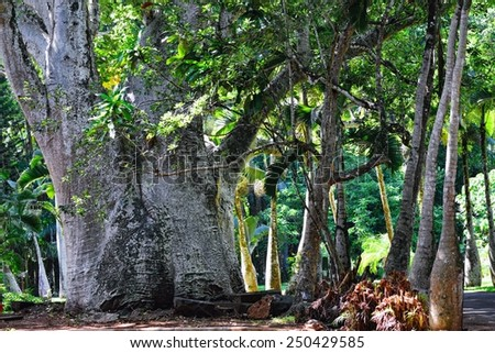 Trunk of baobab tree, Mauritius island , Africa - stock photo