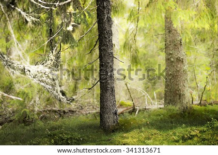 Trunk of old conifer tree in wilderness area - stock photo