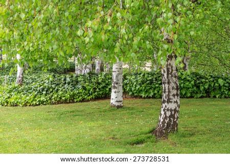 Trunks and branches, Common birch. Betula pendula. - stock photo