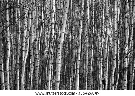 Trunks birch trees black and white - stock photo