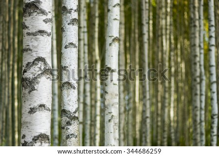 Trunks in birch tree forest on sunny day - stock photo