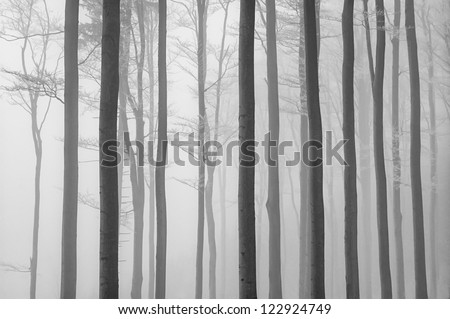 trunks of beech trees with fog in the background - stock photo