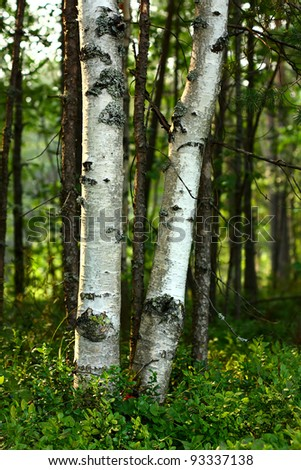 Trunks of birch trees among the forest undergrowth - stock photo