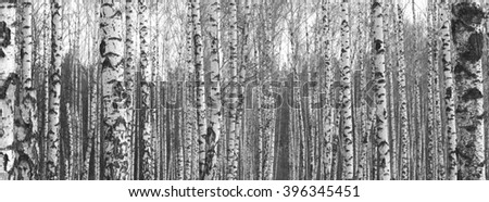 Trunks of birch trees,black and white natural background - stock photo