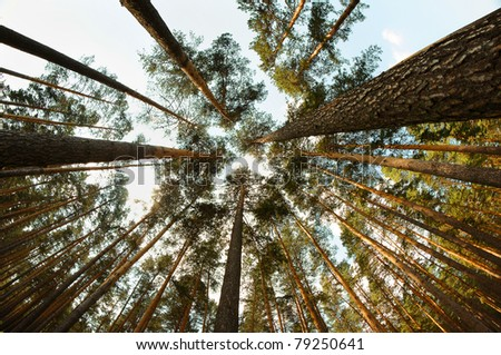 Trunks of high pine trees, stretching up into the sky - stock photo