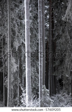 Trunks of pine trees covered in hoar frost in a Scandinavian forest - stock photo