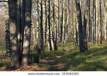 trunks of trees in the morning sun - stock photo