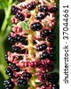 Truss of American Pokeweed (Phytolacca americana) - stock photo