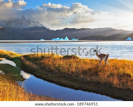 Trusting guanaco on the shore of Lake Grey.  National Park Torres del Paine, Chile.  Blue iceberg floating in the distance. Warm summer sunset light illuminates the grassy bank - stock photo