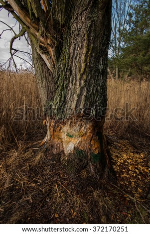trying to chop a large tree by beavers - stock photo