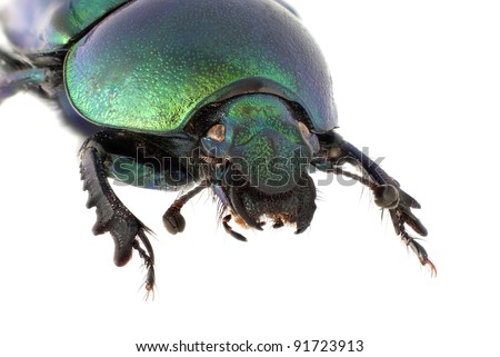Trypocopris vernalis: Female - stock photo