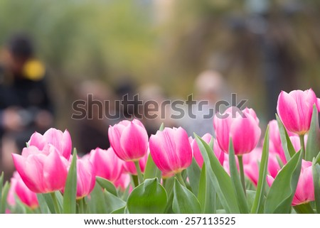 Ttulip in a tulip field. Selective focus with focus on an individual tulip - stock photo