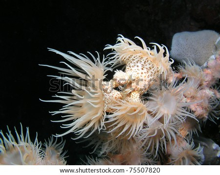 Tubastraea White cup Coral - stock photo