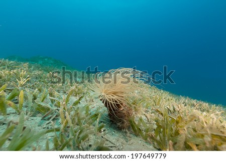 Tube anemone in the Red Sea - stock photo