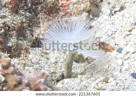 Tube worm /Christmas Tree Worm live on hard coral - stock photo
