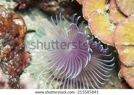 Tubeworm underwater - stock photo