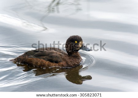 Tufted duck, a young bird