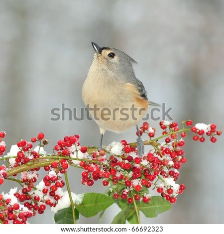 Tufted Titmouse ( baeolophus bicolor). A winter Tufted Titmouse on a snowy branch laden with bright red berries. - stock photo