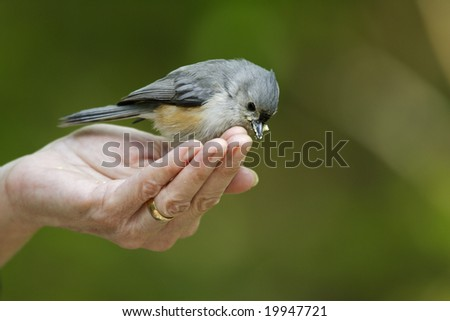 Tufted Titmouse (Baeolophus bicolor bicolor) being feed by bird-watcher - stock photo