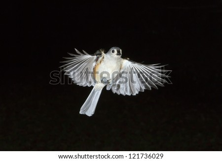 Tufted Titmouse (Baeolophus bicolor) flying (Georgia, USA).