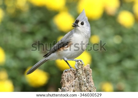 Tufted Titmouse (baeolophus bicolor) on a stump with flowers - stock photo