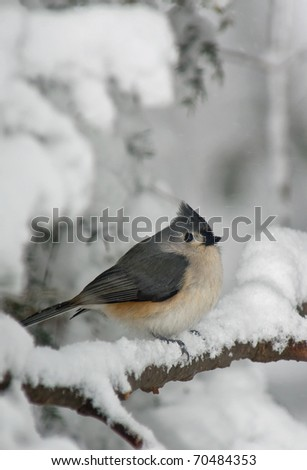 Tufted Titmouse (Baeolophus bicolor) perched on a branch covered with snow. - stock photo