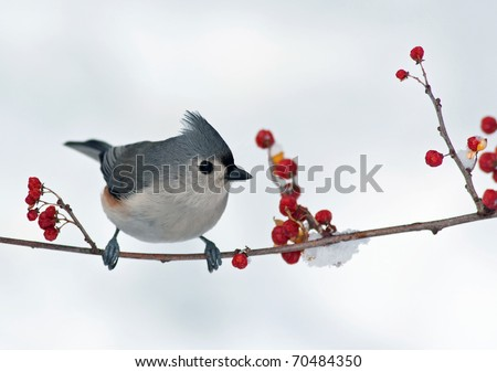 Tufted Titmouse (Baeolophus bicolor) perched on a branch with berries. - stock photo