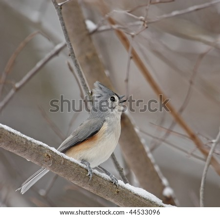 Tufted titmouse (Baeolophus bicolor) perched on a snowy tree branch singing - stock photo