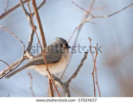 Tufted titmouse, Baeolophus bicolor, perched on a tree branch