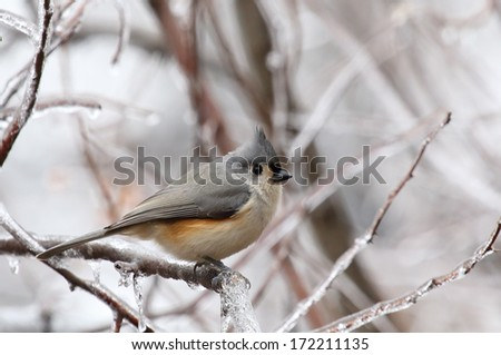 Tufted titmouse, Baeolophus bicolor, perched on an icy tree branch - stock photo