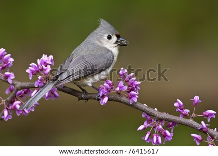Tufted Titmouse (Baeolophus bicolor) perching on a Redbud tree with a Sunflower seed. - stock photo