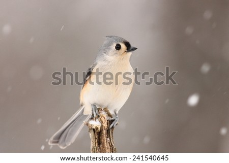 Tufted Titmouse on branch looking right with snow falling - stock photo