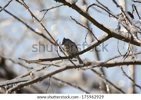 tufted titmouse on icy morning - stock photo