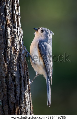 Tufted titmouse on side of tree