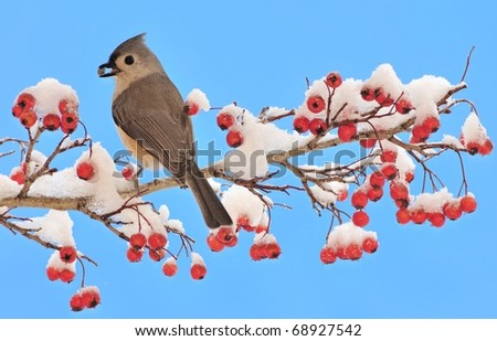 Tufted Titmouse (Parus bicolor) on a Hawthorn branch loaded with red berries. - stock photo