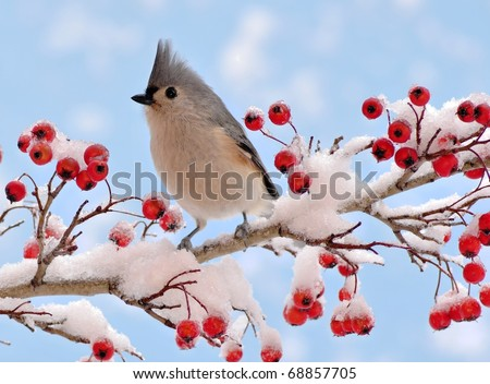Tufted Titmouse (Parus bicolor) on hawthorn.