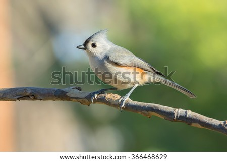 Tufted Titmouse perched on a sycamore tree branch.