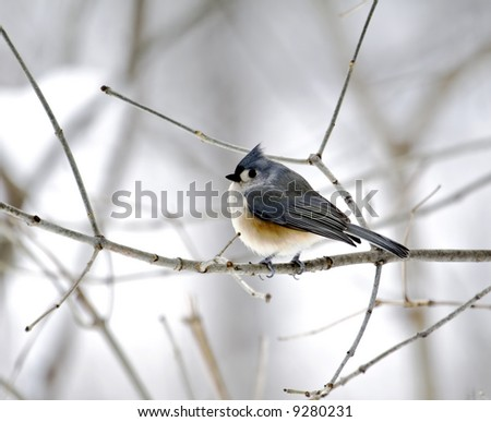 Tufted titmouse perched on a tree branch - stock photo