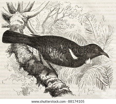 Tui old illustration (Prosthemadera novaeseelandiae). Created by Kretschmer and Jahrmargt, published on Merveilles de la Nature, Bailliere et fils, Paris, ca. 1878 - stock photo