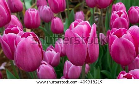 tulip are blooms that flourish in the cold